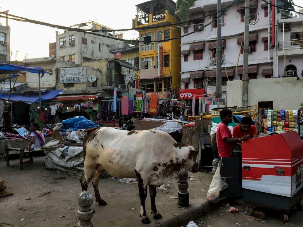 Delhi Vaches Rues Inde